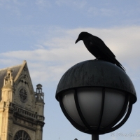 Paris crow